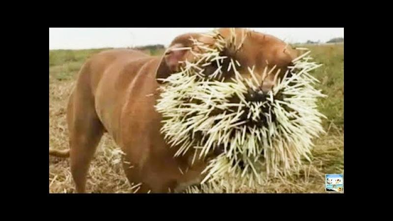 Самая эпическая охота на животных терпит неудачу в компиляции - Удивительные кадры _ full-hd.mp4