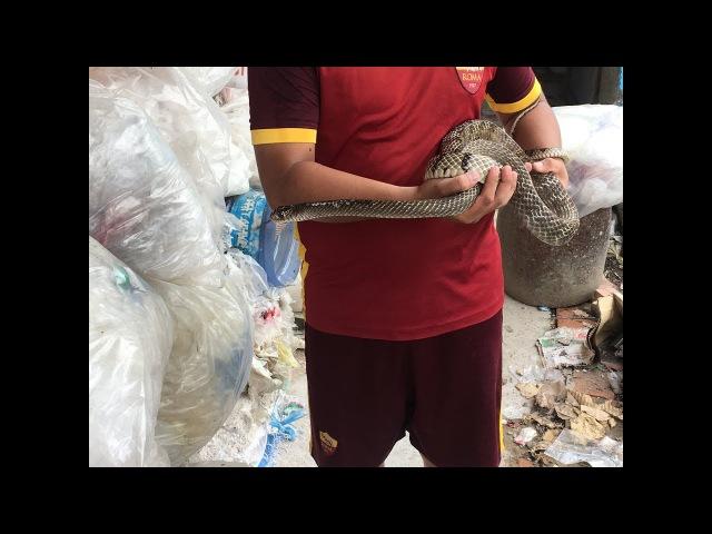 Snake eat Frog very scary, thrilling. snake farm in Vietnam