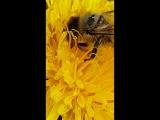 пчела мутит пыльцу