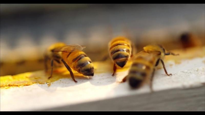 Медоносные пчёлы ...