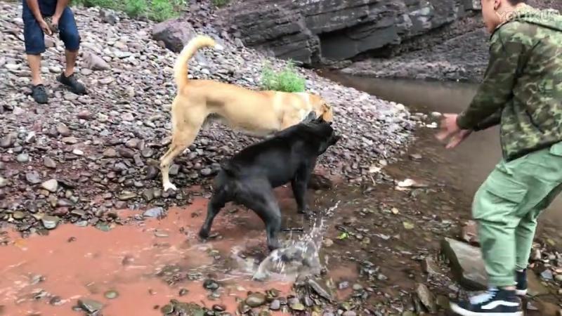 Волкодав VS кане корсо собачьи бои