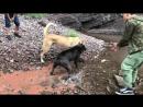 Волкодав VS кане корсо (собачьи бои)