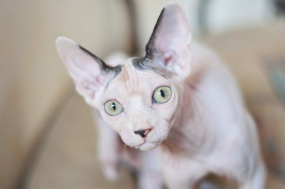 В Томске спасатели вызволили кота-сфинкса, который застрял в ванной