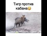 тигр против кабана