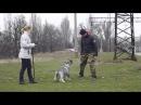 Шнауцер. Собака - Телохранитель