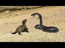 King Cobra Vs Mongoose | Big Battle In The Desert