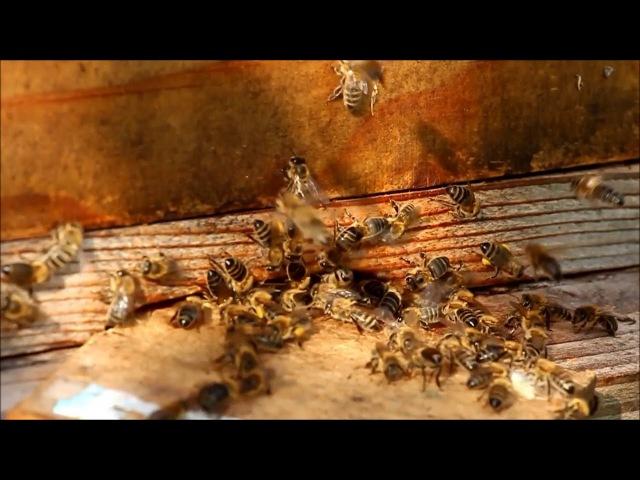 Пчелы | Улей | Медоносные Пчелы | Мед | жива точка | Украина | Хмельницкий