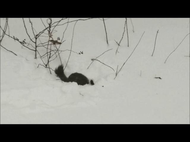 Ласка против белки в 2 раза больше (Weasel vs Squirrel - 1st Episode)