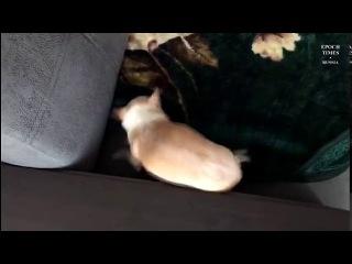 Собачка прячется под плед