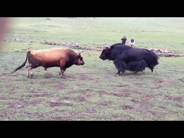 Монголия! Red bull vs yak! Бык против Сарлыка! Какхабиб Нурмагомедов Versus Конор МакГрегор. Часть 1