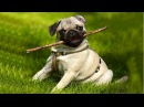 Funniest and Cutest Pug Dog Video Compilation 5