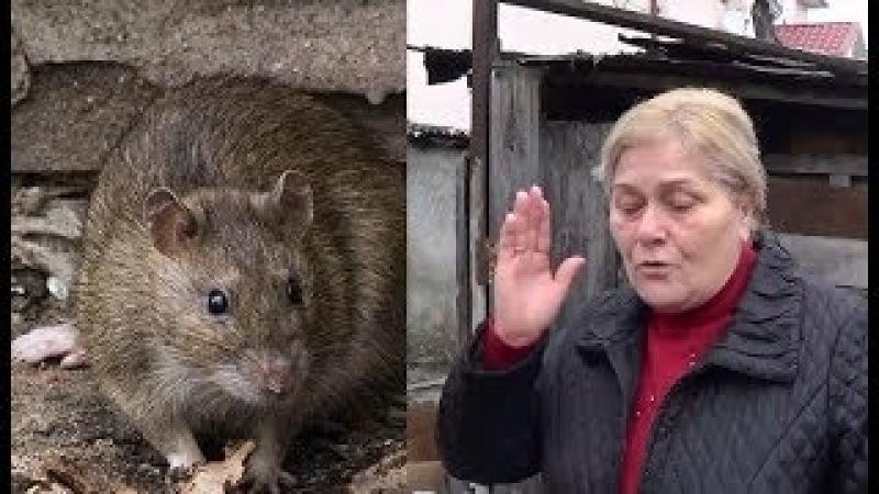 Огромные крысы заедают жителей Нальчика. В моей смерти вините Администрацию. КБР