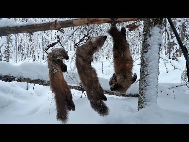 Охота на куницу капканами 2017 3 Дед Мороз приходил на балаган