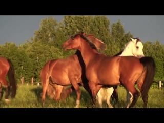 Стабунивание двух групп Лошадей ...