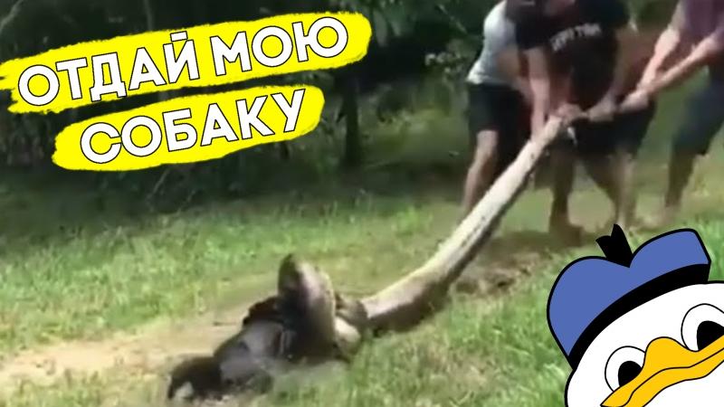 Хозяин спас собаку от анаконды!