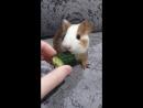 Морская свинка Готика кушает огурец