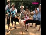 Четкая лезгинка в исполнении фламинго