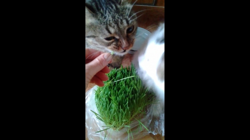 Кошачья травка зимой