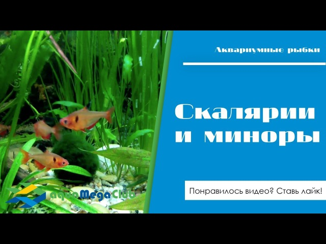 Растительный аквариум со скаляриями (Pterophyllum scalare) и тетрой минор (серпас, Serpae tetra)