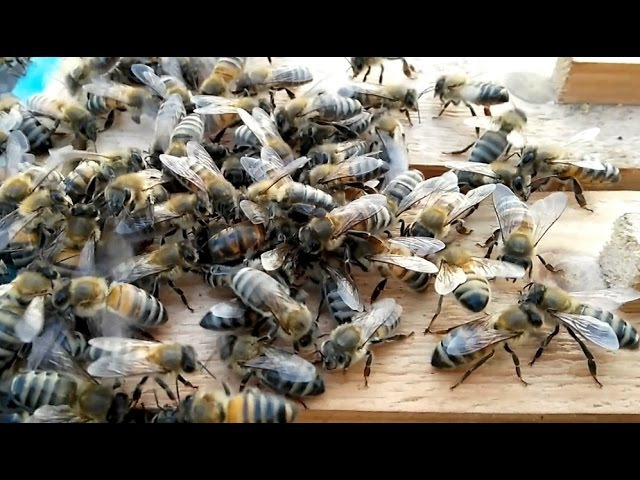 Как пчёлы принимают новую матку.