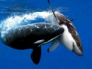 Кит убийца Косатка Супер хищники Killer whale The super predators