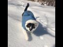 ПРОЧУВСТВУЙ ФЕВРАЛЕЦ🐾 Morning everyone🎿❄️✨ * おはようサンデー☃️ 朝から雪にズボズボにんにん🐾 どんどん歩いていっちゃう〜🤣 にんにんは雪上を歩いてるけど… 人間だとここ、かなり足がうまるの! わたしついてく