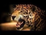 ЯГУАР - ИНТЕРЕСНЫЕ ФАКТЫ О ЖИВОТНЫХ Jaguar animal
