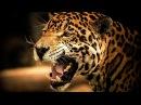 ЯГУАР - ИНТЕРЕСНЫЕ ФАКТЫ О ЖИВОТНЫХ / Jaguar animal