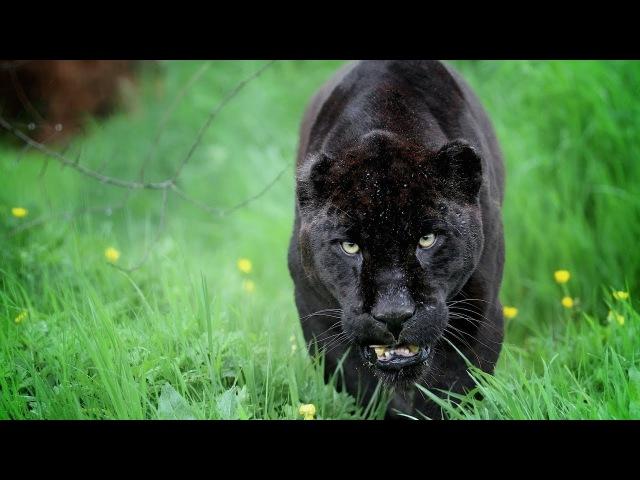 Черная пантера - Опасный хищник