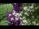 Лекция КЛЕМАТИСЫ часть1. Группы клематисов, особенности выращивания, формирован...