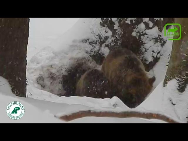Медведица с медвежонком 2 Вести из леса 22.02.18