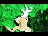 Лягушка против геккона (Frog vs Gecko)