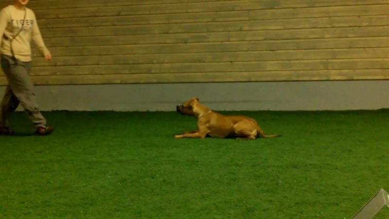 Obedience Class 1 training with American Staffordshire Terrier Dudette, 17 мес.