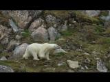 Белый медведь на Шпицбергене