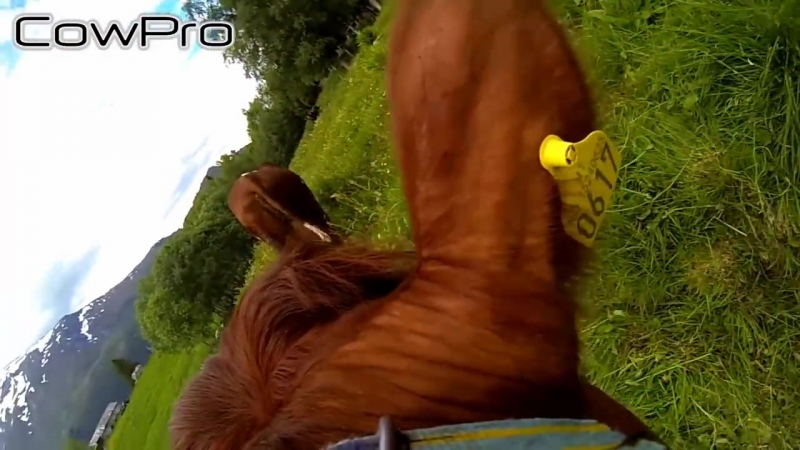Животные с GoPro: коровы