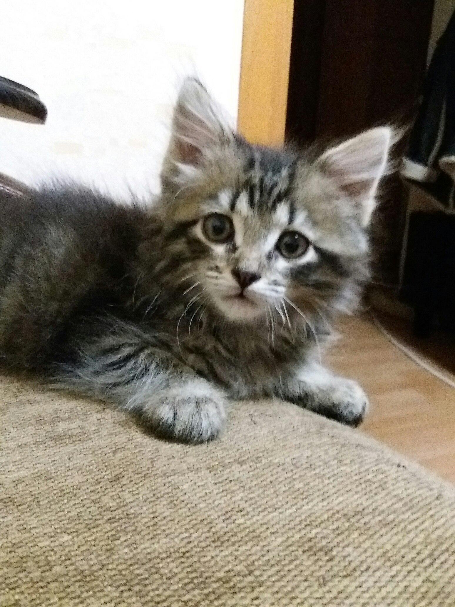 Доброе время суток, нашелся котенок (кот ) где то около 2 месяцев, кушает всё, к лотку приучен, серый, пушистый на улице 1-ой Пролетарской.