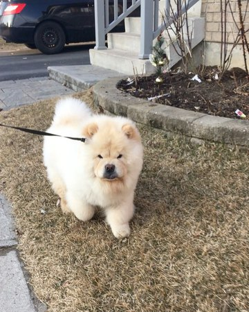 "Tofu the Chow on Instagram ""running towards the long weekend like 😝 . . . . . . . . . chowchow chow dog doggo pupper puppy dogwalking wal..."