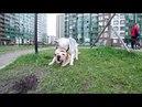 Хаски Капелла тиранит лабрадора Бесконечные игры собак