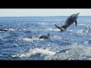BBC Дельфины Шпион в стае 1 серия Познавательный природа животные 2014