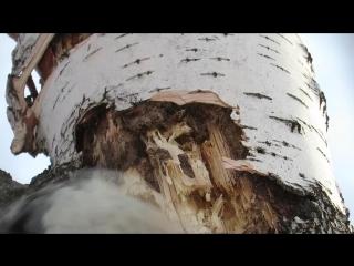 Замедленная съемка, как дятел долбит дерево, woodpecker breaks a tree in slow mo.mp4
