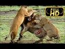 Самое ужасное и жестокое убийство льва. Полная версия FULL HD / Львы жестоко убивают короля прайда