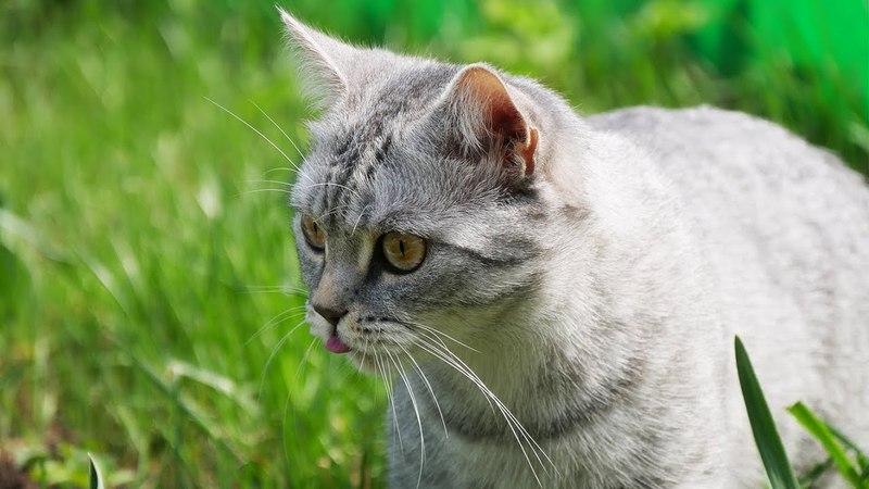 Британская кошка впервые на дикой природе British Shorthair Cat