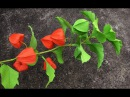 ABC TV How To Make Physalis Alkekengi From Crepe Paper Craft Tutorial