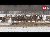 Почти 300 благородных оленей живут в Сямженском районе области