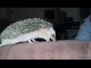 Funny Hedgehog Compilation!