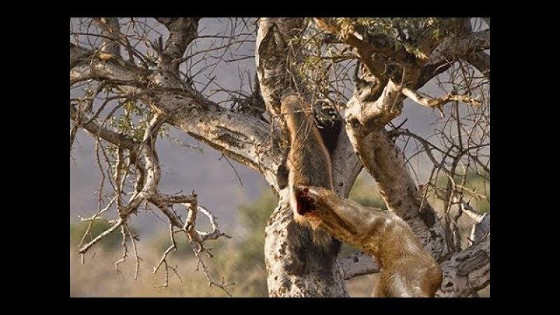 Fearless Honey badger takes on King cobra | Honey badger against : Lion , hyena , Snake vs Squirrel