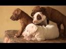 Щенки питбуля очень милые Видео с щенками