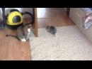 Бесстрашный котенок vs взрослого кота