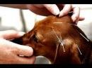 Акупунктура в ветеринарии / Acupuntura en veterinaria