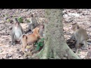 Puppy Vs 4 Monkeys, Cute Puppy Doing Funny Things, Monkeys 1067 Tube BBC